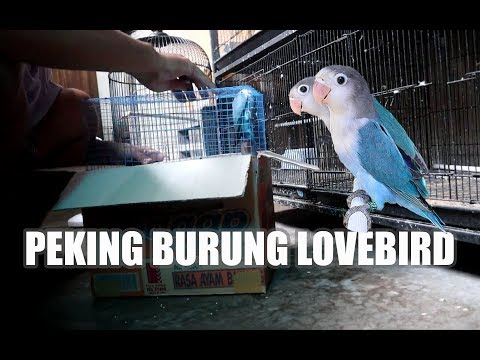PEKING BURUNG LOVEBIRD BIRU FISCHERY