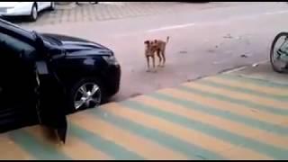 Собака танцует под музыку.