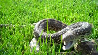 Jack Russell Vs Bull Snake --- This Snake Was Removed From Inside A Home In Denver Colorado