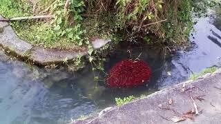 魚虎 及 幼魚 外來種入侵 危害本土魚類生態 幾乎無天敵。 拍攝地 高雄 澄清湖。20180512