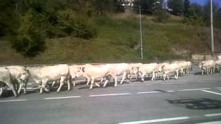 Transhumance de vaches à Demonte (Italie)