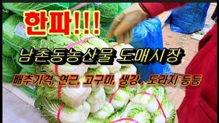 한파속 인천남촌동 농산물도매시장둘러보기, 배추가격, 고…
