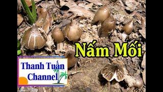 Phát Hiện Ổ Nấm Mối Còn Búp Búp Trong Vườn Dừa | TTCN_44