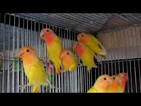 African Love Birds Pictures