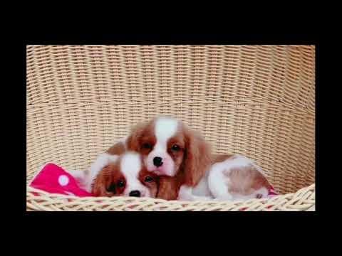 Cavalier King Charles Spaniels Puppies
