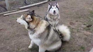 Собака волк воет.  Собака воет громко  сборник!
