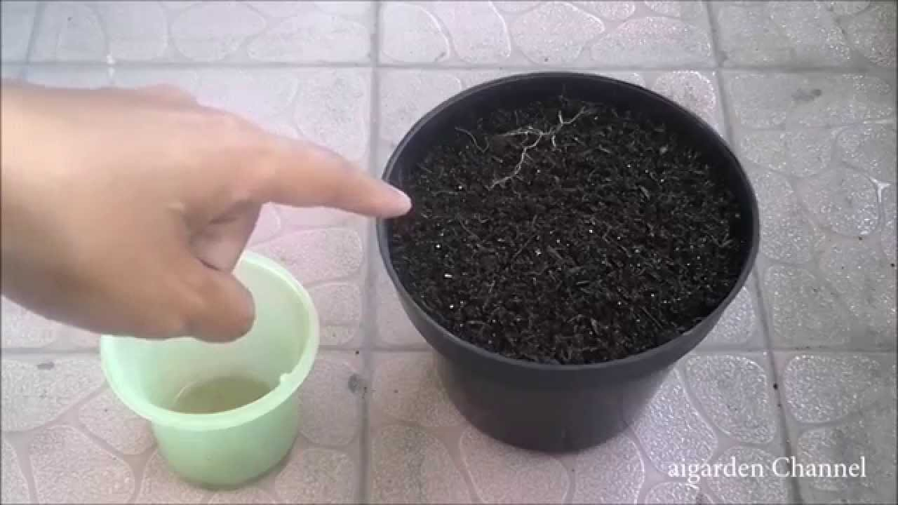 Cara Menanam Biji Kangkung Di Pot Polybag Lengkap Youtube