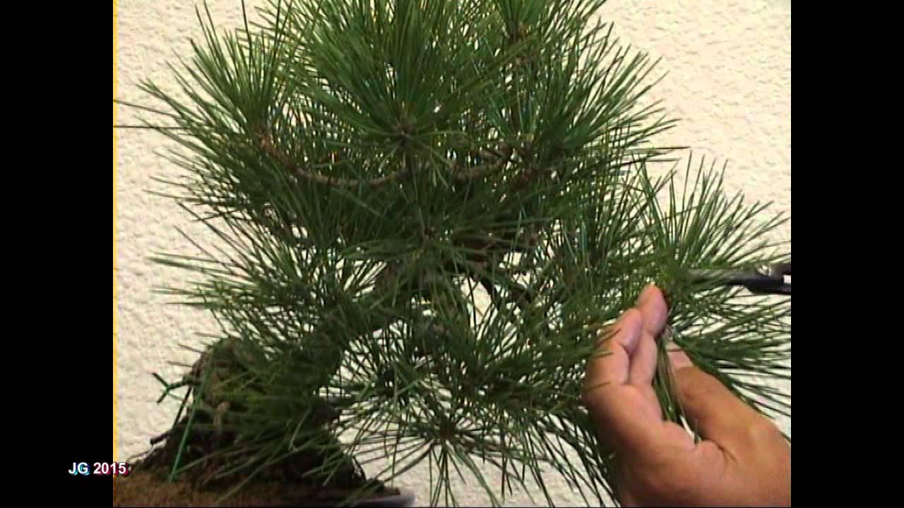Lujoso Anatomía Aguja Pinus Viñeta - Anatomía de Las Imágenesdel ...