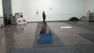 Belgian Malinois Single, Double, Triple Drill