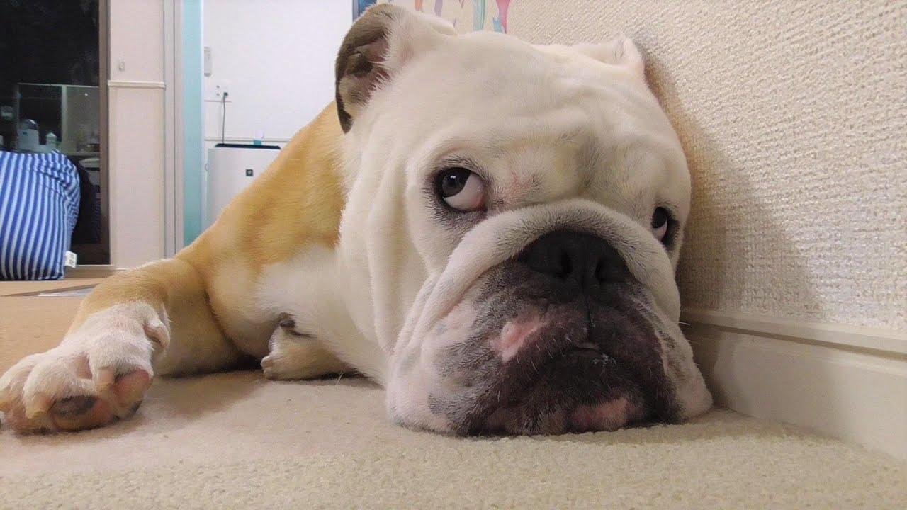 世界一運動嫌いな犬、「瞬発力」を憶える!