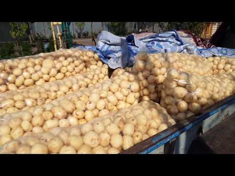 Урожайность картофеля сорт  ривьера. Копаем картошку.моем и пакуем.