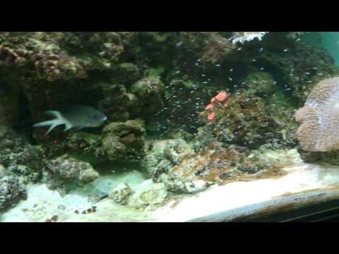 Breeding Chromis In An Aquarium