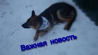 Важная новость .купил собаку (немецкая овчарка МУХТАР)