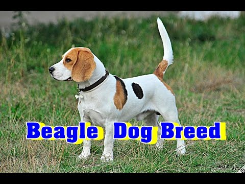 Beagle Dog Breed Information