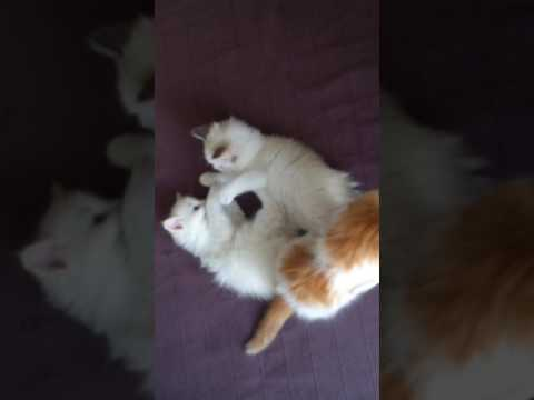 4 ragdol + maine coon mix kittens fighting and playing