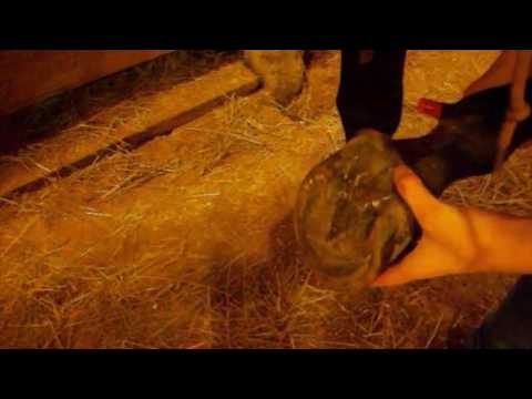 Treating Advanced Thrush in the Cleft of a Hoof