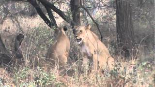 Lioness Takes a Baby Baboon From A Tree Top (African Safari Videos)
