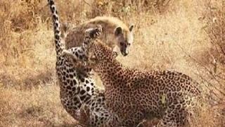 獲物として喧嘩チーター(チーター)とLepardos対ハイエナ 獲物として喧...