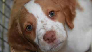 How to house training Brittany Spaniel puppy