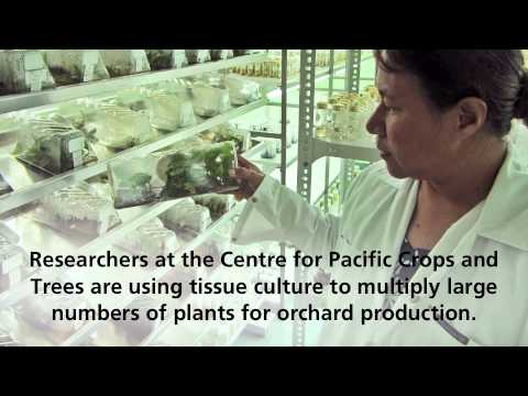 Fiji breadfruit - from home gardens to productive orchards