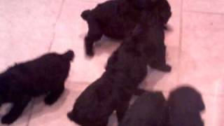 For Sale In Ohio Giant Schnoodle Puppies Playing ( Poodle & Giant Schnauzer ) Mix