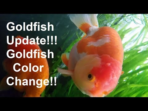 Goldfish UPDATE!! Ranchu Color Change!! Update On Ranchu Fry!!