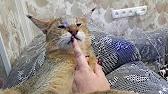 Азиатский леопардовый кот - хозяин в доме)) Bengal cat like a boss .