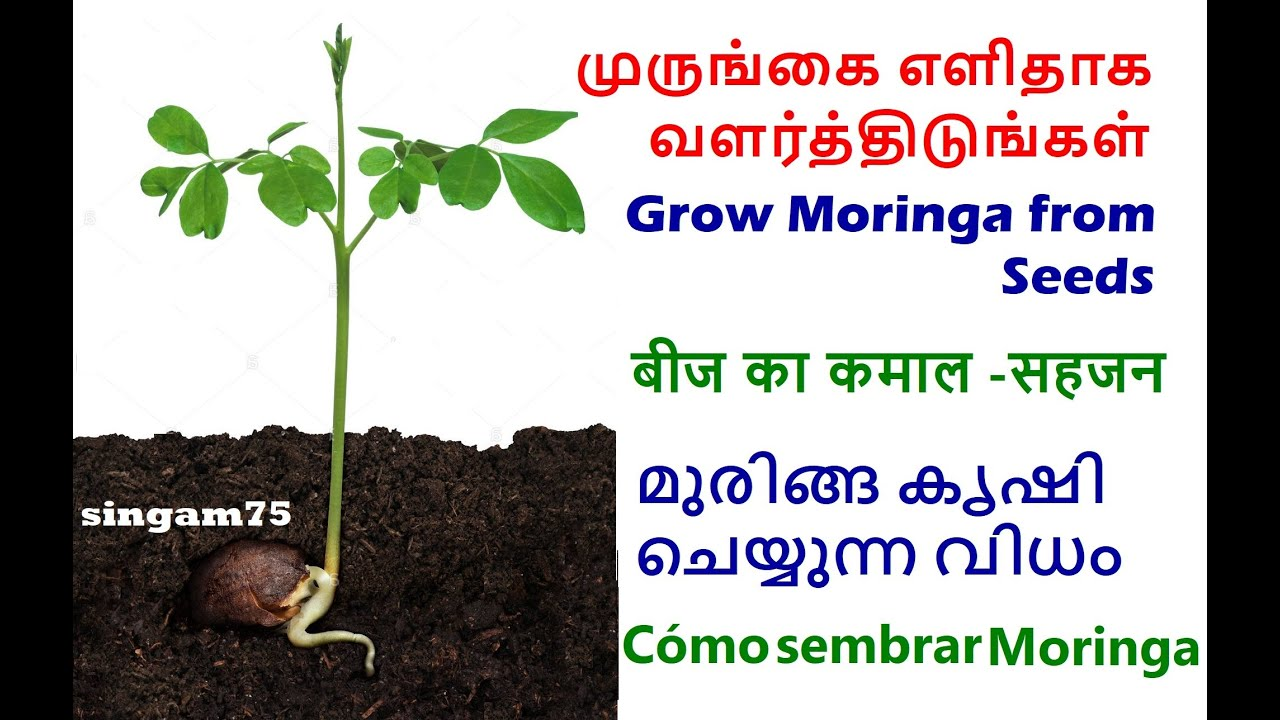 Growing Moringa from Seeds