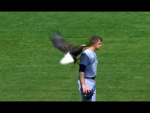A bald eagle lands on the back of James Paxton
