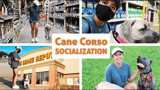 Taking My Cane Corso Puppy to Home Depot  Living with a Cane Corso