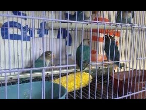Inilah Cara Menggemukkan Lovebird Kurus Dengan Jagung Muda