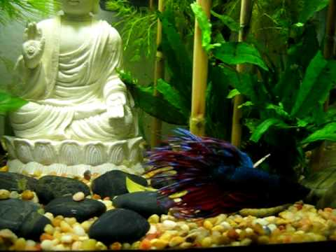 Betta Swimming in My Zen Buddha Rock Garden Aquarium - YouTube