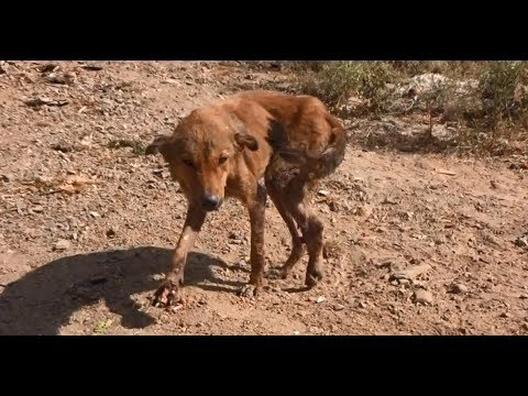 Dog with shredded leg sobs when seeing rescuers