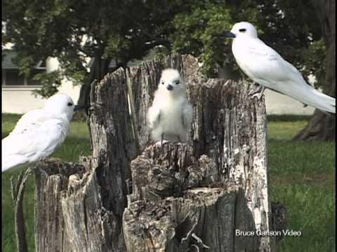 White Tern, Midway Island, 1999