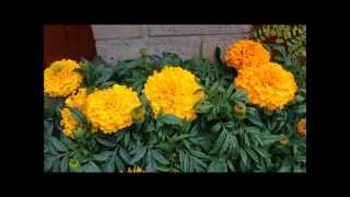 African American Marigolds, Massive blooms. Help and care. Marigold