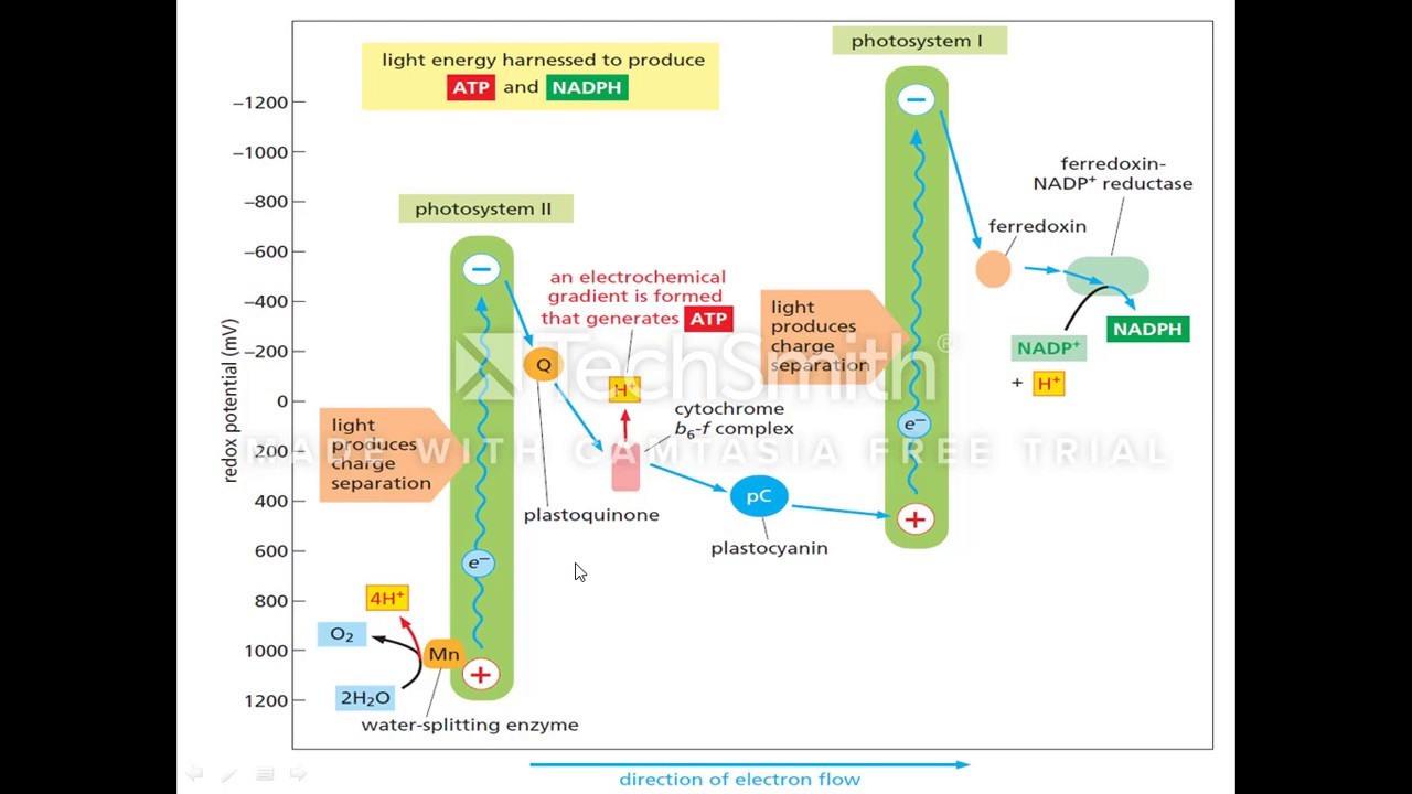 photosynthesis z scheme diagram crossover wiring light reaction of with reduction potential