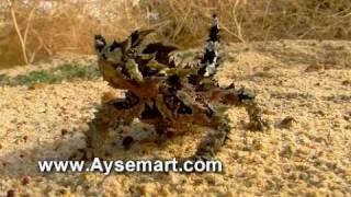 Australian Thorny Devil