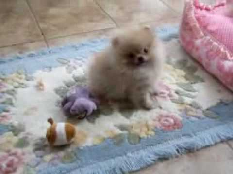 Tiny Pomeranian Cream Sable For Sale Youtube