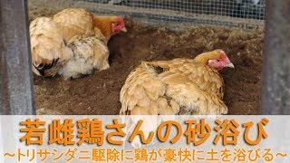 """2017年10月下旬のこと。 名古屋コーチンの雌鶏""""もみじ""""と""""かえで""""は、生..."""