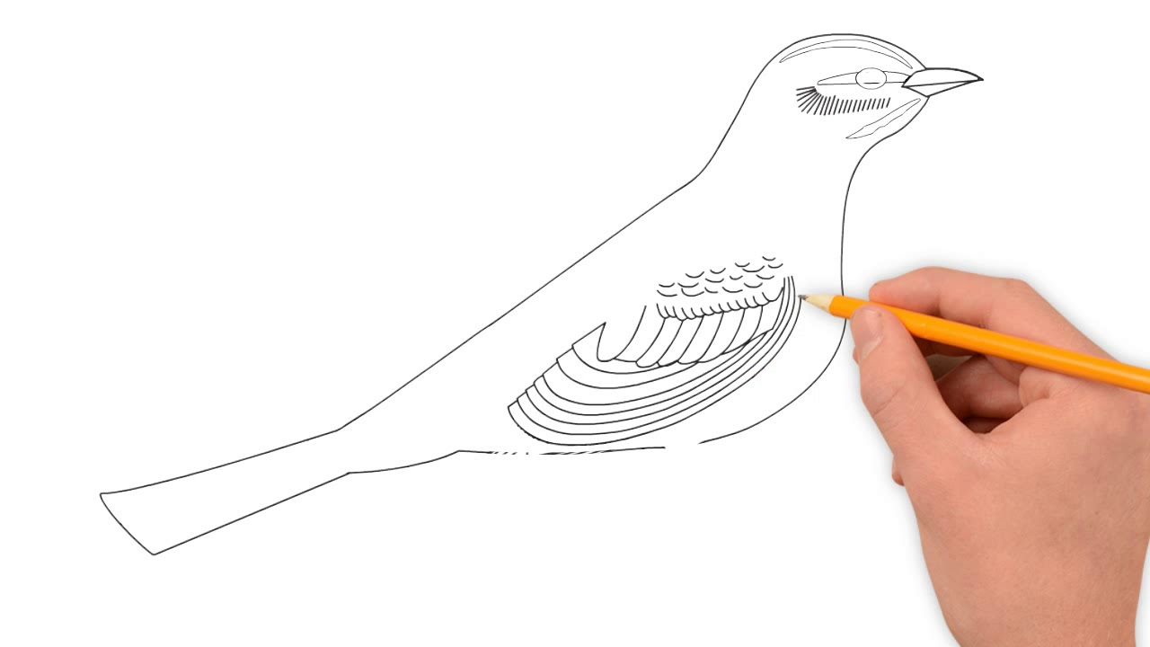 how to draw a northern mockingbird bird step by step easy tutorial - YouTube