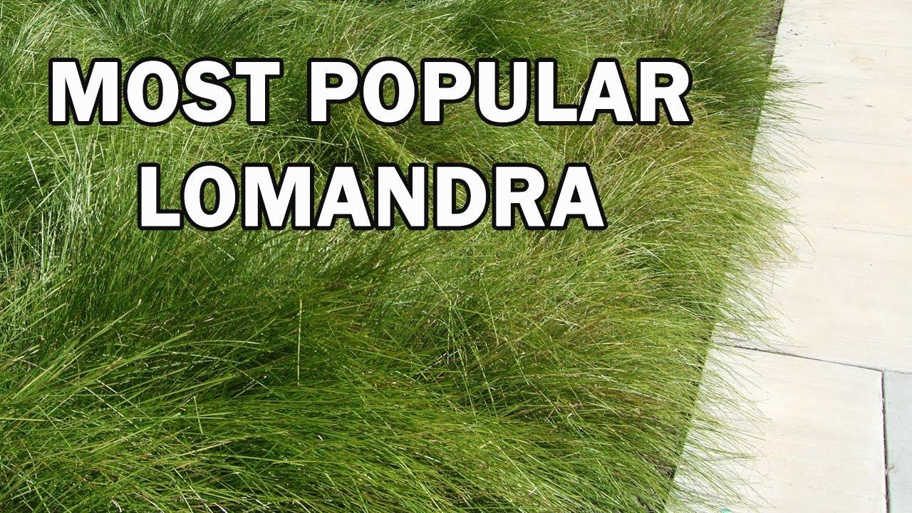 TANIKA Lomandra is a drought tolerant landscape plant