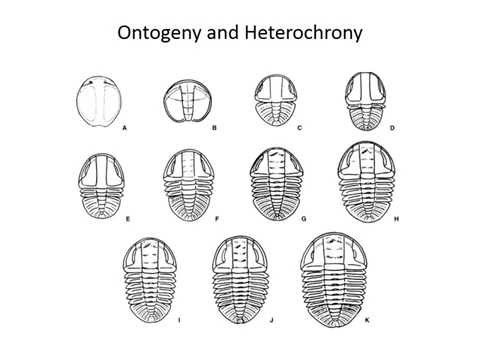 Ontogeny and heterochrony
