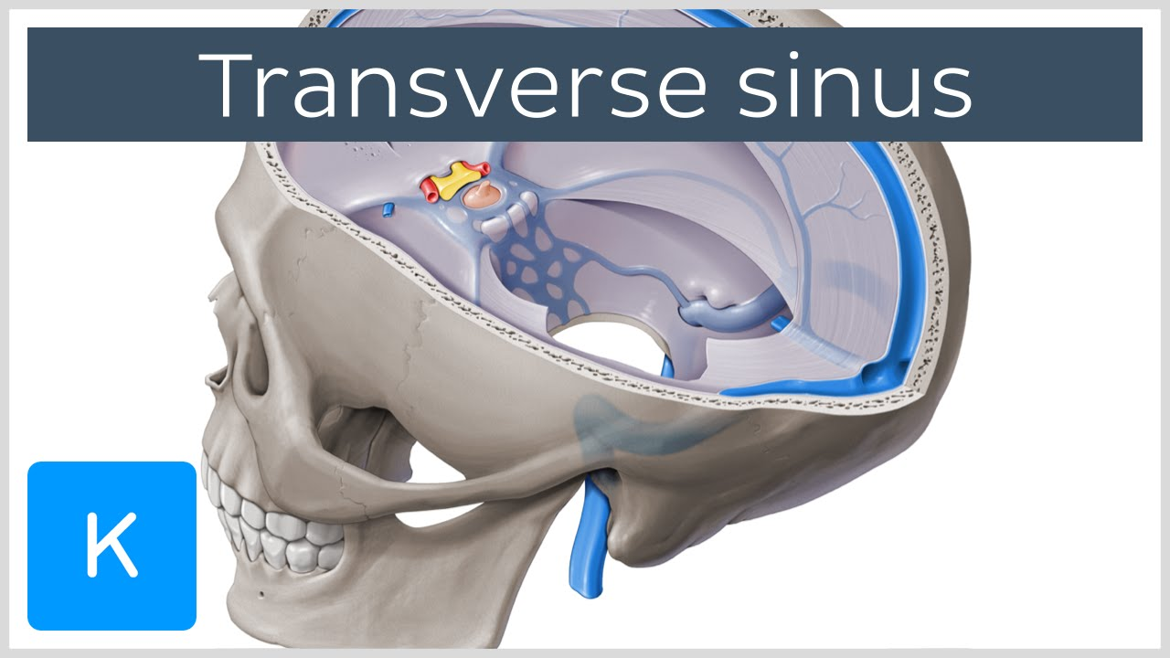 Transverse Sinus (left and right lateral sinuses) - Human Anatomy ...