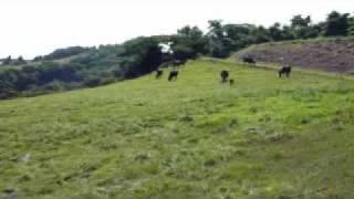 稲葉山牧場では、ゆったりとした環境を生かして牛の放牧を行っています...
