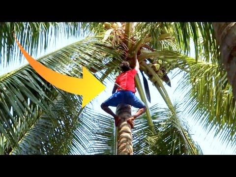 CLIMBING COCONUT TREES!