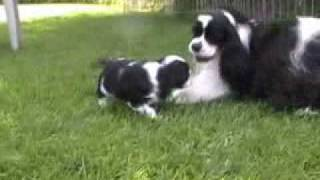 Five-week-old Cocker Spaniel Puppies Playing