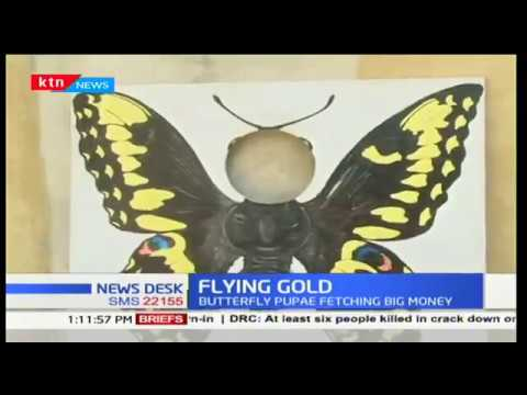 Flying Gold: Making money from butterfly farming