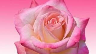 真っ赤なバラの花が満開です。 バウムが休日を利用して作った手作りガー...