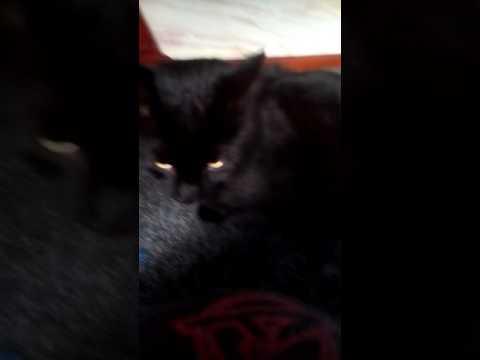 Stray bombay cat taking kittens food!!