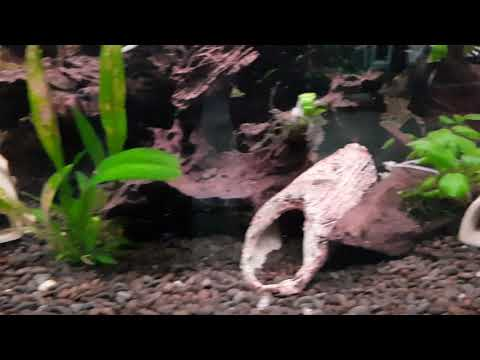 Camallanus Worms Part 3, 1st Treatment Results And What They Look Like.